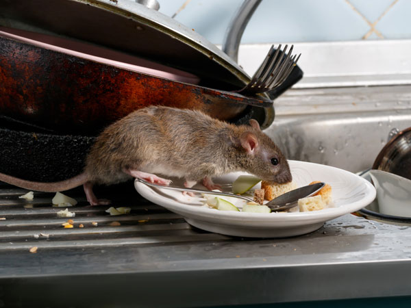 Rat crawling over plates on kitchen sink